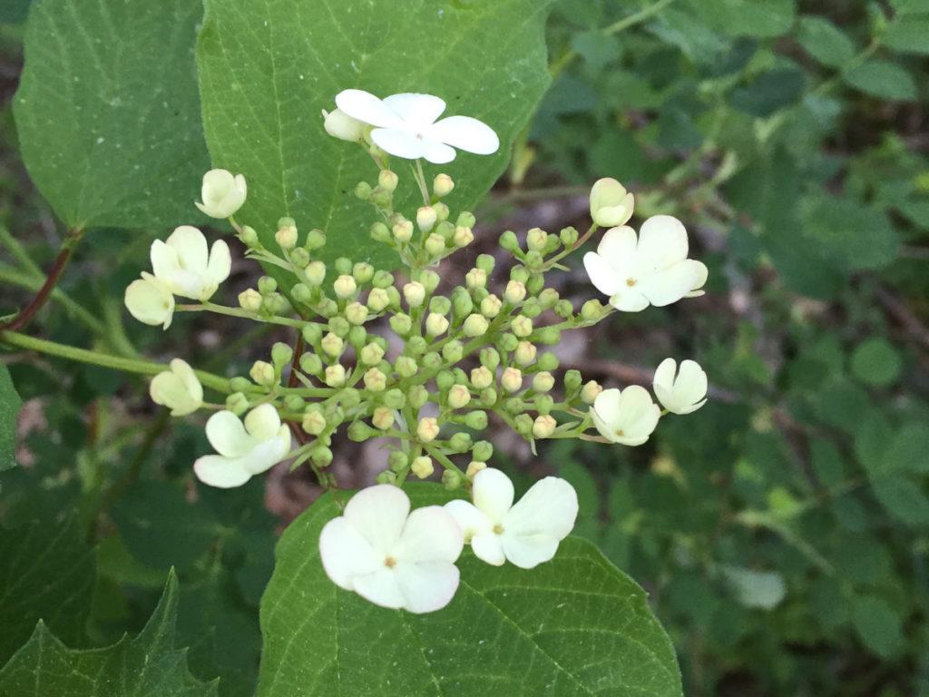 Olvon blommor